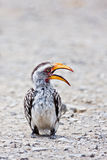 Hornbill. Southern Yellowbilled Hornbill; tockus leucomelas stock images