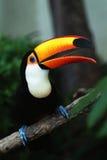 hornbill Royaltyfria Bilder