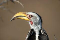 Hornbill affiché par jaune Image libre de droits