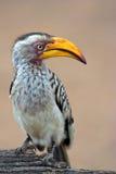 Hornbill affiché par jaune Photo stock