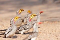 Hornbill affiché par jaune Image stock