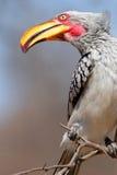 Hornbill affiché par jaune Photos libres de droits