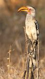 Hornbill affiché par jaune Photographie stock