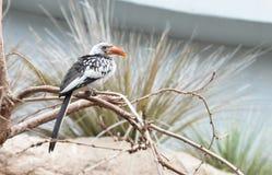 Hornbill affiché rouge Photos libres de droits