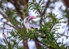 Hornbill Afrika på trädet Royaltyfria Foton