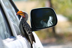 Hornbill amarelo africano na bandeja de Nxai foto de stock royalty free