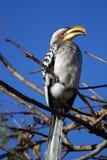 Hornbill Amarelo-faturado do sul Imagem de Stock