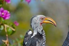 Hornbill Amarelo-faturado do sul Imagens de Stock Royalty Free