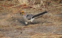 Hornbill Amarelo-faturado do sul Foto de Stock Royalty Free