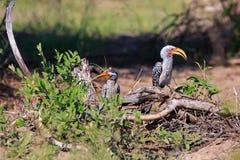 Hornbill Amarelo-faturado do sul imagens de stock