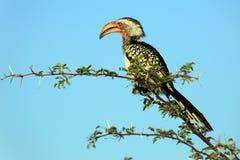 Hornbill Amarelo-faturado do sul fotos de stock royalty free