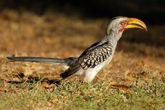 hornbill Amarelo-faturado - parque nacional de Kruger Imagem de Stock