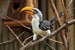 Hornbill Amarillo-cargado en cuenta del este (Tockus Flavirostris) imagen de archivo