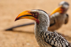 Hornbill Amarillo-Mandado la cuenta meridional Foto de archivo libre de regalías