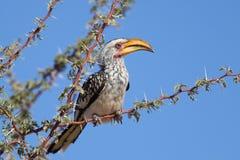 Hornbill Amarillo-mandado la cuenta meridional Fotos de archivo