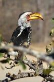 Hornbill amarillo-mandado la cuenta meridional en arbusto Foto de archivo libre de regalías