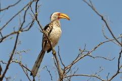 Hornbill amarillo-mandado la cuenta meridional en Kruger NP, sur Foto de archivo