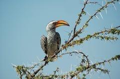 Hornbill arancione Immagini Stock Libere da Diritti