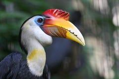 Hornbill arrugado Fotografía de archivo