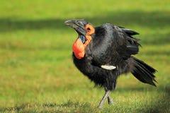 Hornbill au sol méridional Image libre de droits
