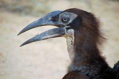 Hornbill au sol méridional (leadbeateri de Bucorvus) photos stock