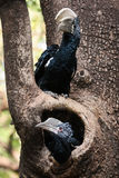 Hornbill and baby Royalty Free Stock Image