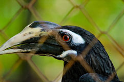 Hornbill is big bird Stock Photography