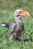 Hornbill Bird Stock Photo