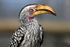 Hornbill Bird. Southern ground hornbill bird with inquisitive look and big yellow beak Royalty Free Stock Photos