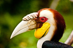 Hornbill. The bird in Bali bird park Royalty Free Stock Photography