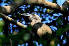 Hornbill bird. Beautiful shot of hornbill bird in jungle Royalty Free Stock Images