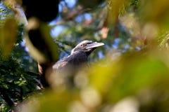 Hornbill bird. Beautiful shot of hornbill bird in jungle Royalty Free Stock Photo