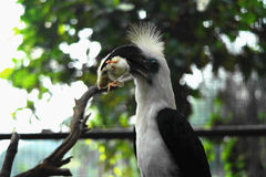 Hornbill Bird in Borneo Sarawak Royalty Free Stock Photo