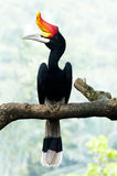 Hornbill bird on branch. Borneo exoctic great hornbill Royalty Free Stock Images