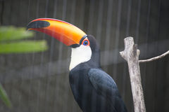 Hornbill bird on branch in a cage Stock Photography