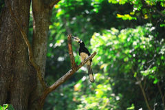 Hornbill bird on branch Royalty Free Stock Photography