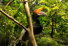 Hornbill bird close-up on branch Royalty Free Stock Photo