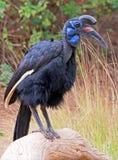 Hornbill Bird Stock Images