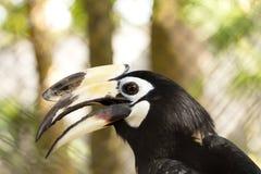 Hornbill bird Stock Photography