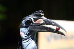 Hornbill bird with a grape Royalty Free Stock Photos