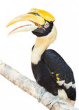 Hornbill. Bird with isolated background Royalty Free Stock Images
