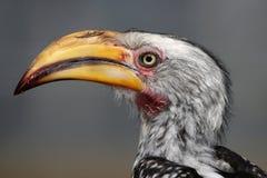 Hornbill Bird Portrait Stock Photo