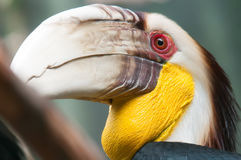 Hornbill bird portrait closeup Stock Image