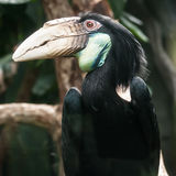 Hornbill bird portrait closeup Stock Photos