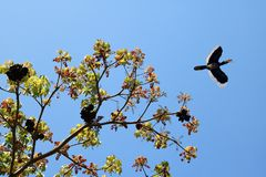 Hornbill  Birds flying on top of the tree against the sky,Wildli Royalty Free Stock Images