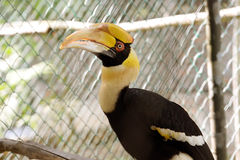 Hornbill. Borneo exoctic great hornbill in tropical rainforest, Malaysia Royalty Free Stock Photos