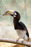 Hornbill. Borneo exoctic great hornbill in tropical rainforest, Malaysia Royalty Free Stock Photography