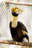 Hornbill. Borneo exoctic great hornbill in tropical rainforest, Malaysia Royalty Free Stock Images