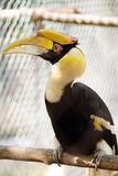 Hornbill. Borneo exoctic great hornbill in tropical rainforest, Malaysia Royalty Free Stock Image