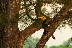 Hornbill. The hornbill on the branch Stock Photos